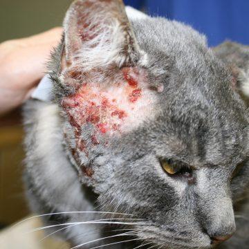 Atoopiline dermatiit kassil