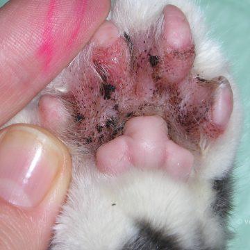 Bakteriaalne infektsioon kassi varvaste vahel