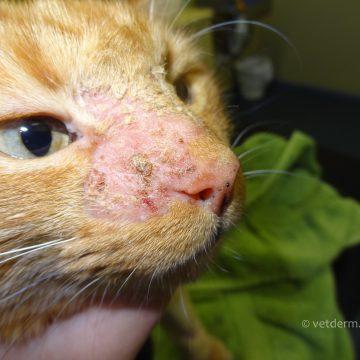 Dermatofütoos kassi näol