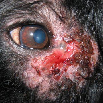 Püoderma silma nurgas, silmapõletiku tagajärg