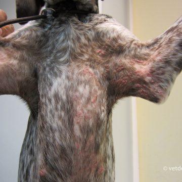 Papilloomiviirus noorel koeral