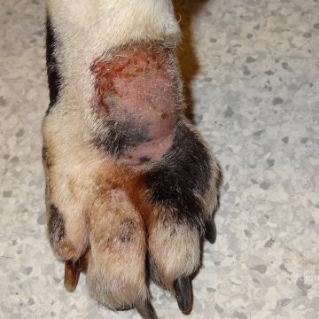 Sügav bakteriaalne infektsioon koera käpal, pideva lakkumise tagajärg